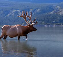 Wading Wapiti by JamesA1