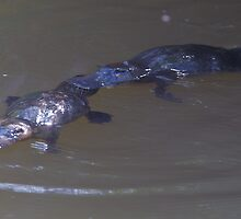 Platypus mating dance by Steve Axford