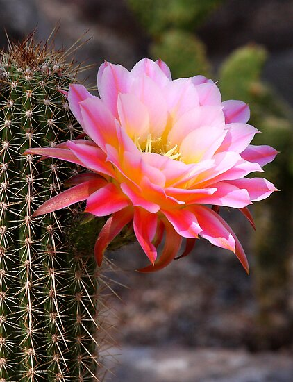Cereus blossom in Pink by ruth  jolly
