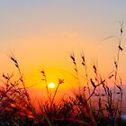 Sunset Spring Grasses - Byron Bay by Cheryl Styles