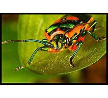 Metallic Shield Bug (Scutiphora pedicellata) Photographic Print