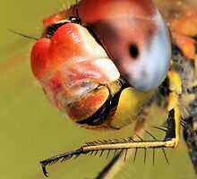 Insect portraits by jimmy hoffman