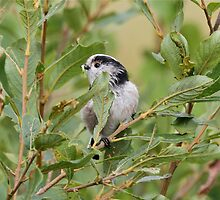 Long-tailed Tit by dilouise