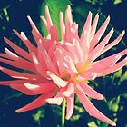 Pink dahlia flower by cycreation