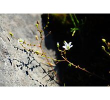 Burren Flower on the Shore Photographic Print