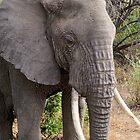 African Elephant by Roger  Mackertich