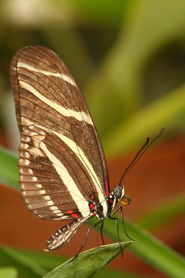 Zebra longwing by ruth  jolly