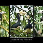 Oriental Pied Hornbill by Dean Mullin
