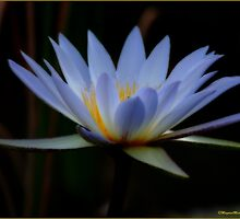 IN BLUE - THE WATERLILY - – Nymphaea nouchall by Magaret Meintjes