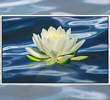 Water Lily by Delores Knowles