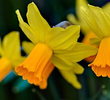 Orange Daffodils by Keld Bach