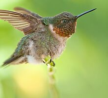 Little Jet Fighter AKA Ruby-throated Hummer by Bonnie T.  Barry
