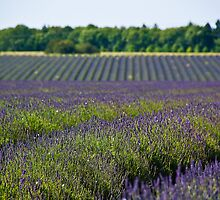 Lavender Fields by Billy Hodgkins