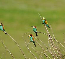 Bee Eaters in Line by F8gallery