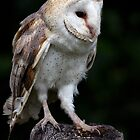 Barn Owl Portrait by Colin Edwards