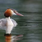 Great Crested Grebe Portrait by Colin Edwards