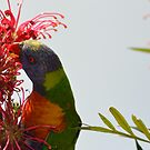 Rainblow Lorikeet Feeding by TheaShutterbug