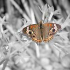 The Buckeye Butterfly B&W by Dawne Dunton