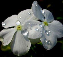 Dew drops by LisaDU