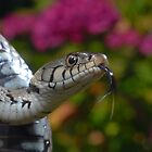 Grass Snake by ChrisBalcombe