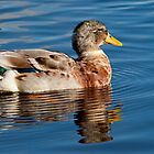 Mallard Drake by M.S. Photography/Art