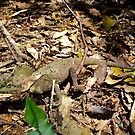 southern angleheaded dragon by MardiGCalero