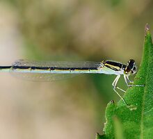Damselfly, This Looks Really Good and Yummy by imagetj