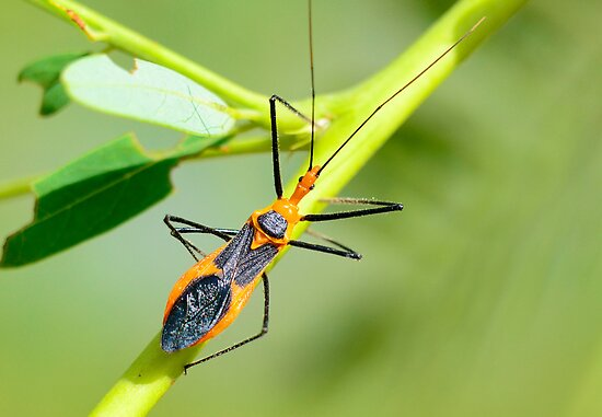 Assassin Bug by imagetj