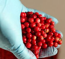 Red bilberry in hand by mrivserg