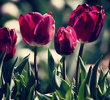 Red Tulips by yolanda