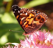 painted lady butterfly by Linda  Makiej Photography