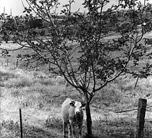 Cow Under Tree San Diego CA 1972 Film by GJKImages