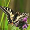 swallowtail butterfly (norfolk uk) by Steve Shand