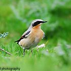 wheatear by Steve Shand