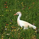 Cattle Egret by croust