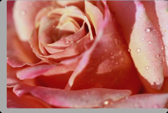 Rose Petals and Water Droplets by Robert Armendariz