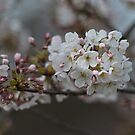 Cherry Blossom Time by Werner Padarin