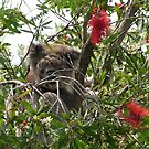 Peek-a-Boo in the Bottle Brush Tree by Gary Kelly