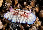 Chromodoris hintuanensis, Wakatobi National Park, Indonesia by Erik Schlogl