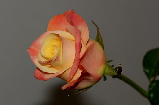 Beautifull rose by Nicole W.