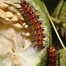 Gulf Fritillary Caterpillar On A Passion Fruit by Kathy Baccari