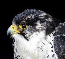 Peregrine Falcon by Moonlake