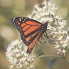Monarch Memory by KatMagic Photography