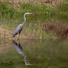 Juvenile  Great Blue Heron  by barnsis