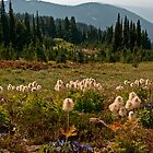 Pasqueflowers and Mt. Adams - Goat Rocks Wilderness by Mark Heller