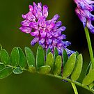 Hairy Vetch by Keld Bach