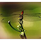 Dragonfly by hanslittel