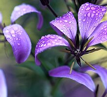 Cleome - Light Morning Mist by T.J. Martin