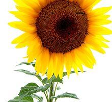 Luminescent Sunflower by Karen Jayne Yousse