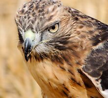 Red Kite Stare by John Dunbar